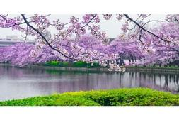 cherry blossoms in bloom flowering trees photo