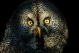 Great Grey Owl Close Up Face Detail Photo Art Print Poster 2