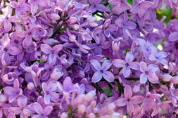 Lilac Purple Flowers Art Print on Canvas,Wall Decor Poster 2